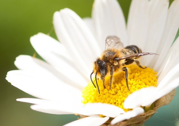 abelha margarida